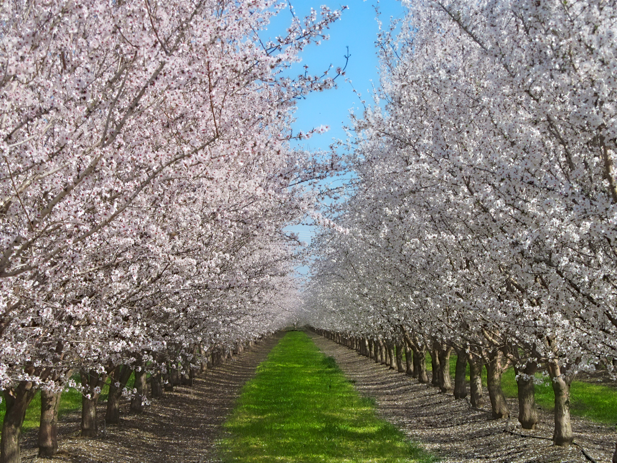 mark jansen almond insightsblue diamond almond bloom report march