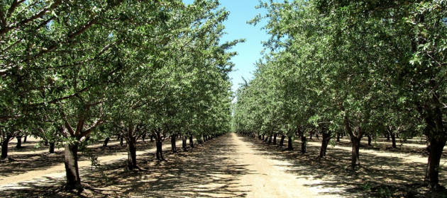 Northern California Almond Orchard